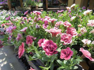 小輪花のカリブラコア