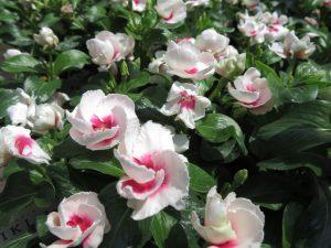 白い花色で中心部が赤いニチニチソウ