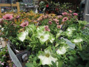 白と緑のフリルのような八重咲きのペチュニア