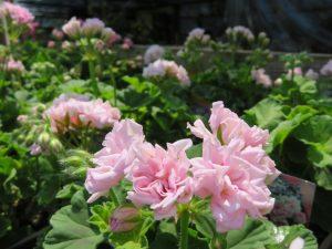 薄ピンクのバラ咲きゼラニウム