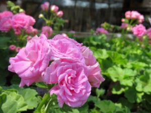 バラ咲きゼラニウム(ピンク)