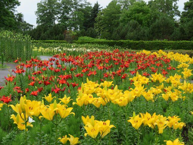 5種類のユリが開花中の中央花壇
