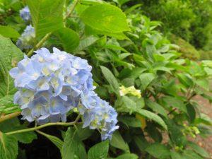 日本庭園の園路で咲くアジサイ