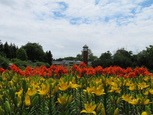オレンジや黄色のユリがまもなく満開になる時計塔前花壇