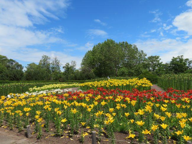 黄色や赤、白い色のユリが開花中の中央花壇の様子