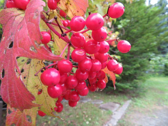 木々の実も赤く色づいてきた