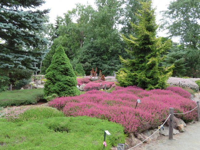 ピンクや白の花色が鮮やかさを増してきたヒースガーデン