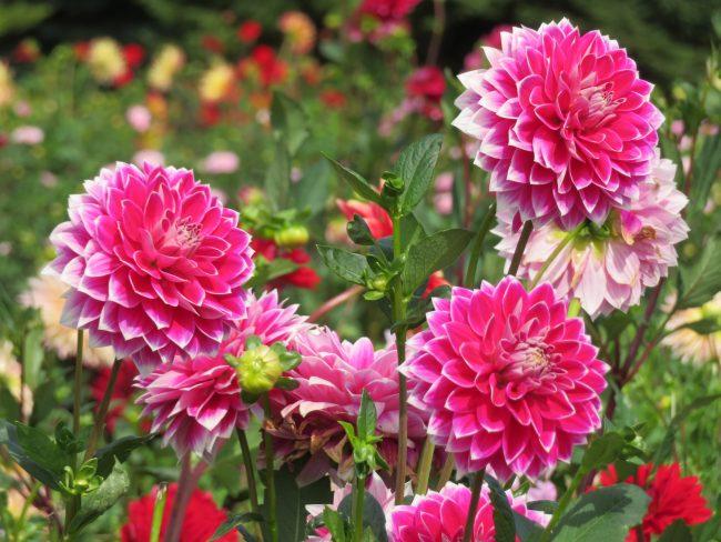 色も鮮やかに咲くダリア'亀甲錦'