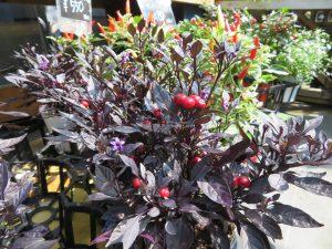 葉の色が濃紫色のナンバン