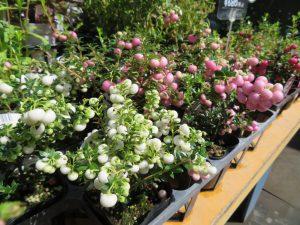 ピンクや白の実が可愛らしいペルネティア