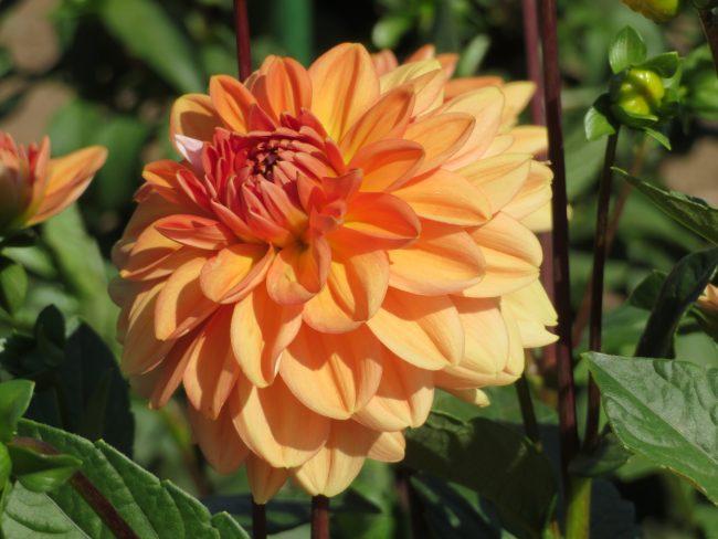 オレンジ色のダリア'三宝冠'