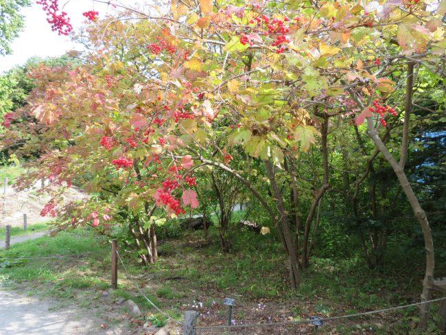 カンボクの赤い実