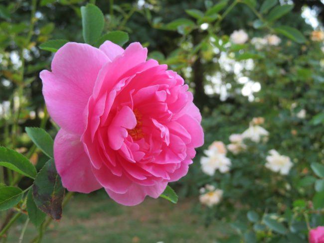 ピンク色のシュラブローズ、プレーリー ドーン
