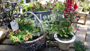 千日小坊やペチュニアの湘南リプルなどの寄せ植え