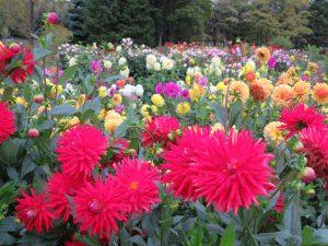 色とりどりのダリアが咲き誇るダリア園