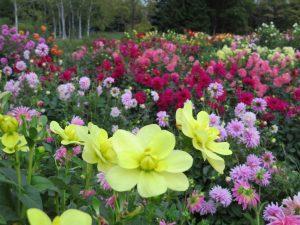 豪華に咲き誇るダリア園の様子