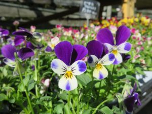 白と紫のラビット系ビオラ