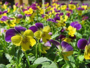 紫と黄色のラビット系ビオラ