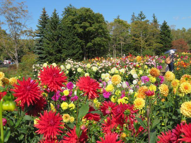豪華に咲き誇るダリア園